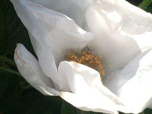 Rosa Rugosa Weiß