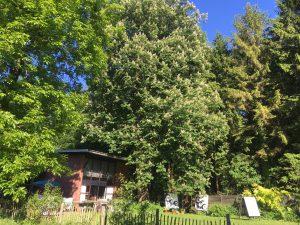 blühende Kastanie im Garten
